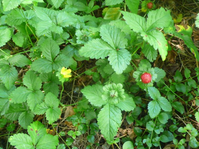 Indische Scheinerdbeere mit Blüte und Früchten