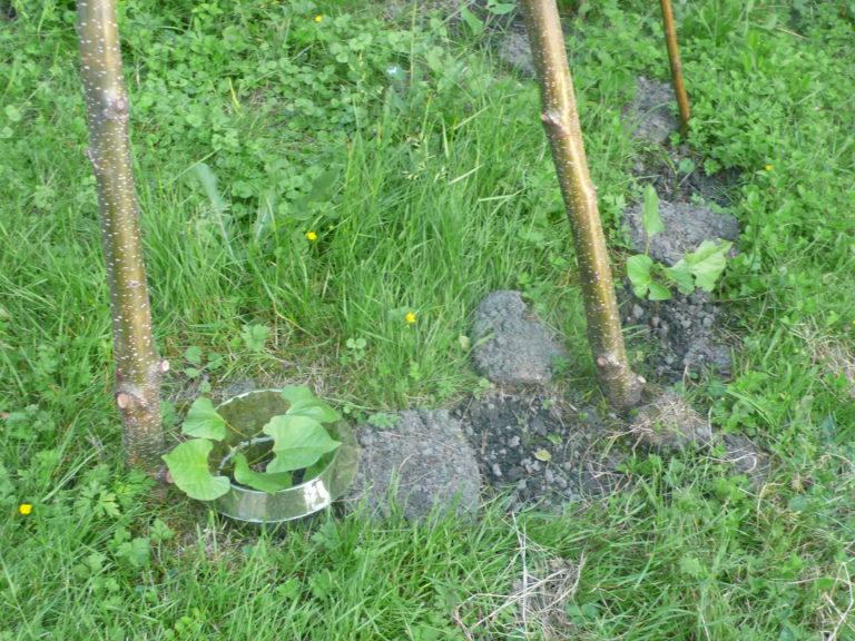 Schneckenkragen bei Stangenbohnen