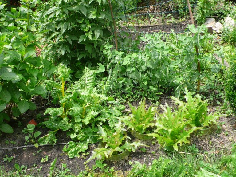 Pflücksalat wächst über Schneckenkragen