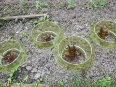 Schneckenkragen am Salat