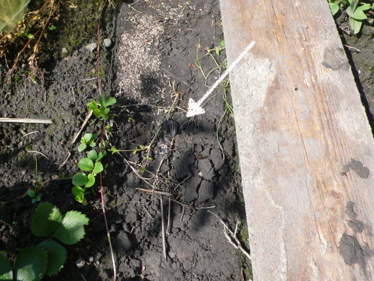 Tigerschnegel unter einem Brett