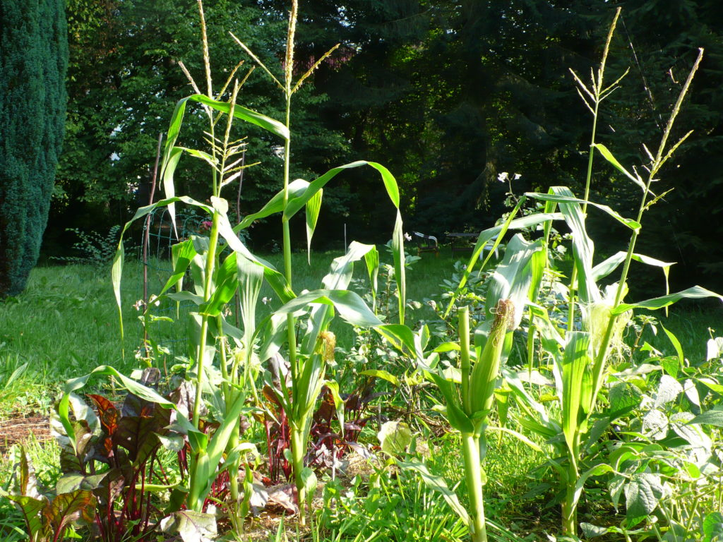 Der Rest vom Maisfeld
