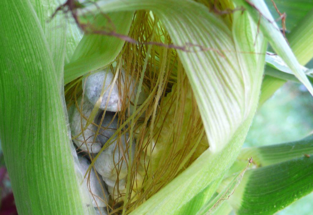 Detailaufnahme Maiskolben mit Maisbeulenbrand