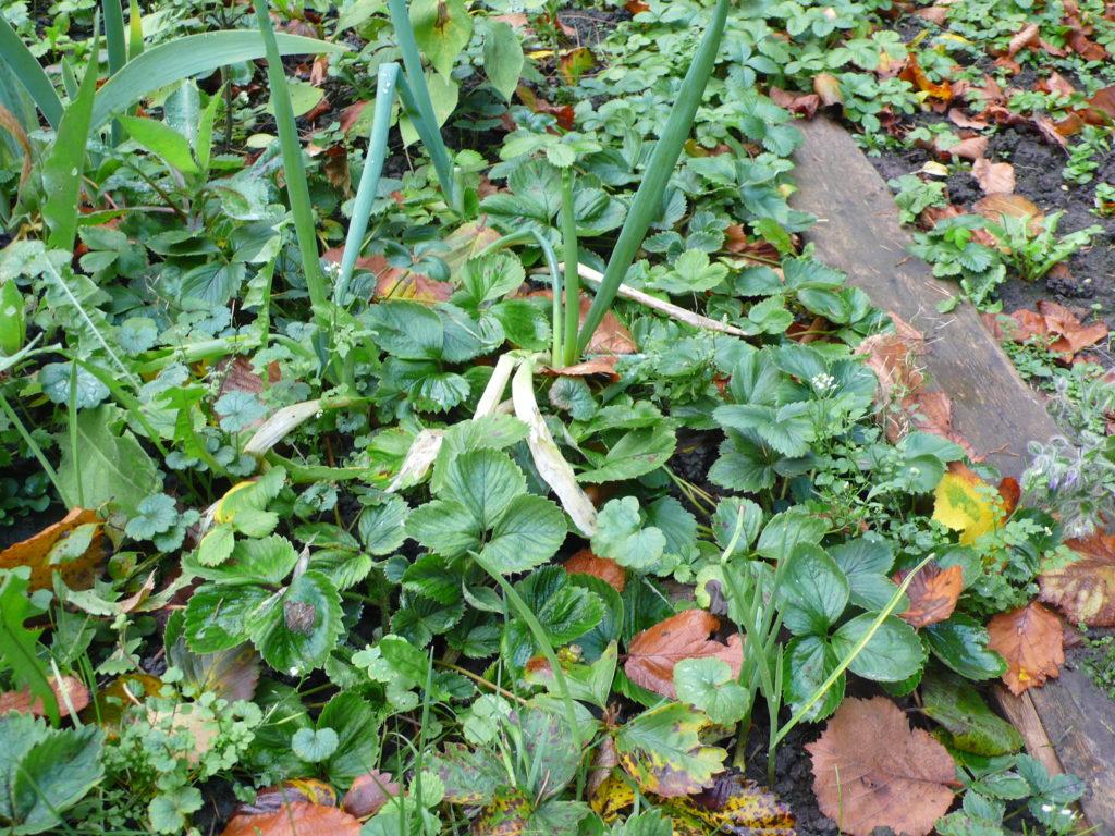 Mischkultur Erdbeeren Winterheckenzwiebel