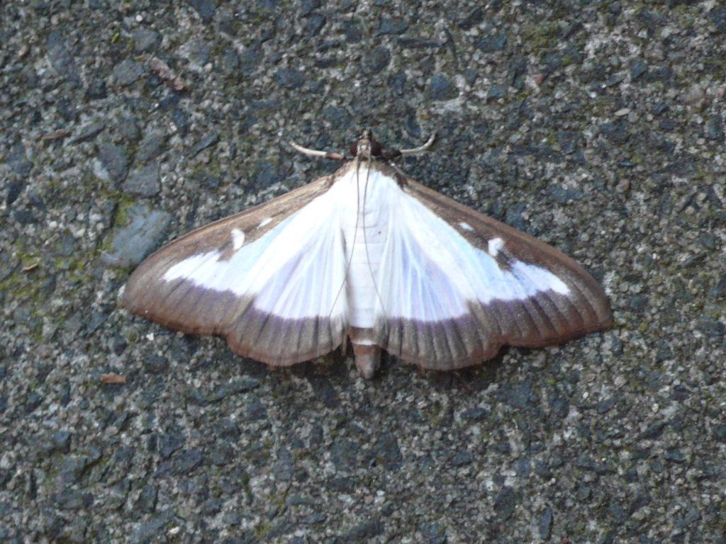 Buchsbaumzünsler - Cydalima perspectalis - Schmetterling