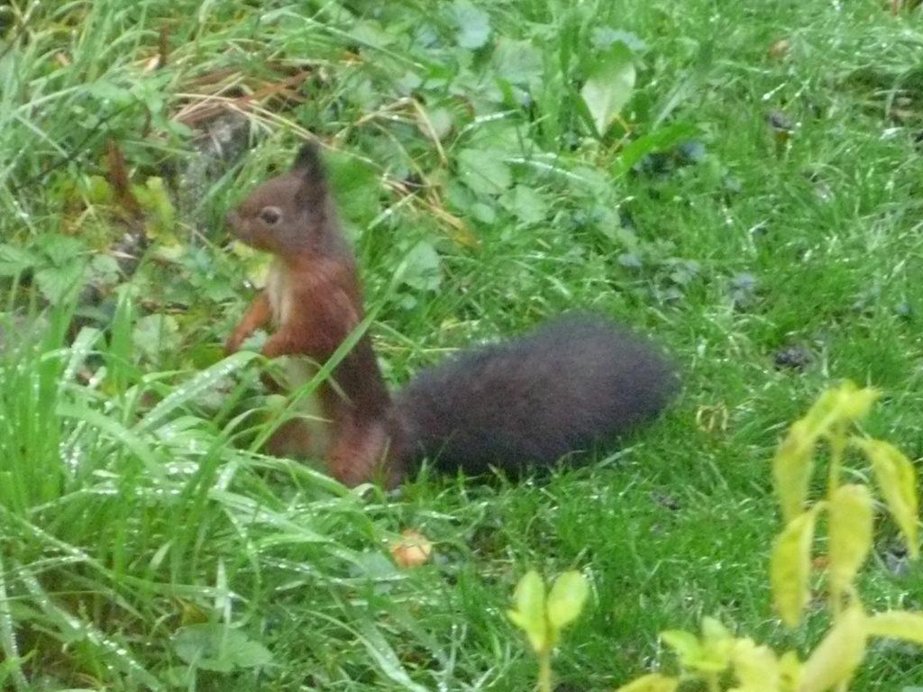 Eichhörnchen von vorne - Sciurus vulgaris