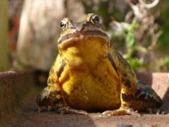 Grasfrosch - Rana temporaria - von Angesicht zu Angesicht