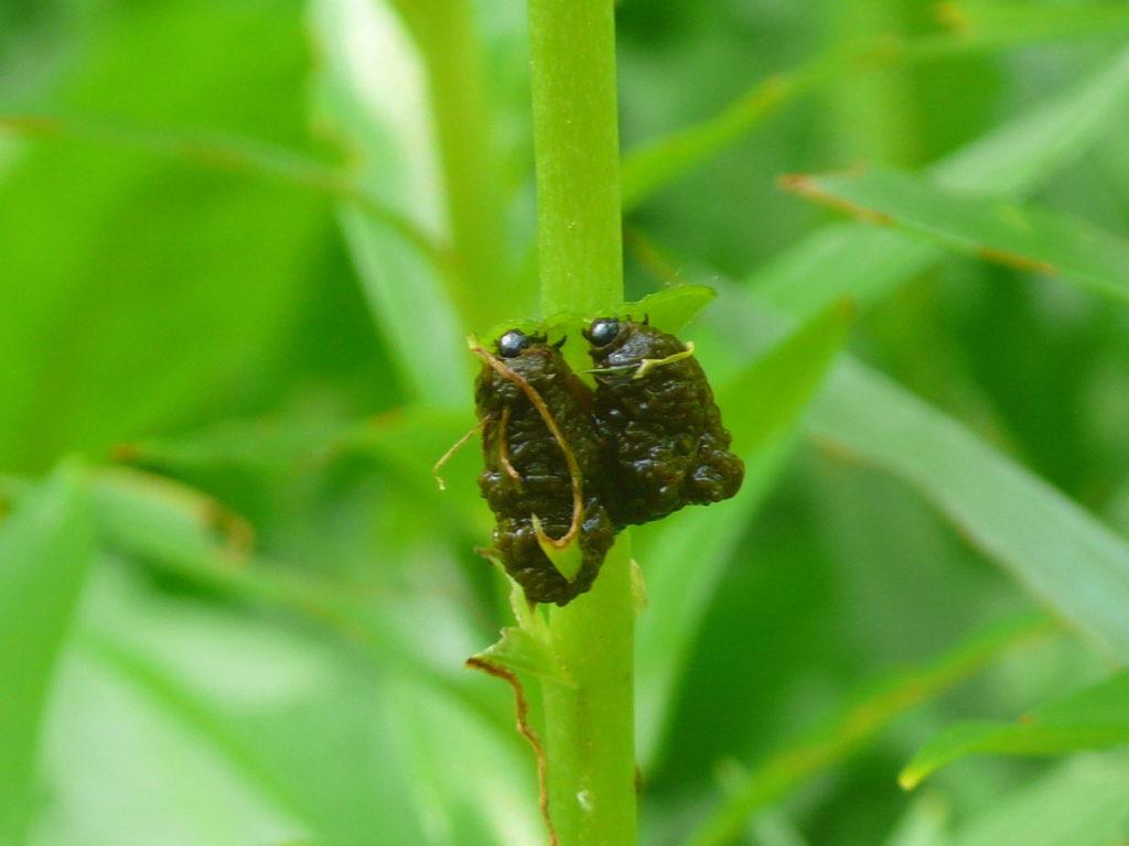 Lilienhähnchen - Lilioceris lilii - Larve mit Kot-Schutzhülle