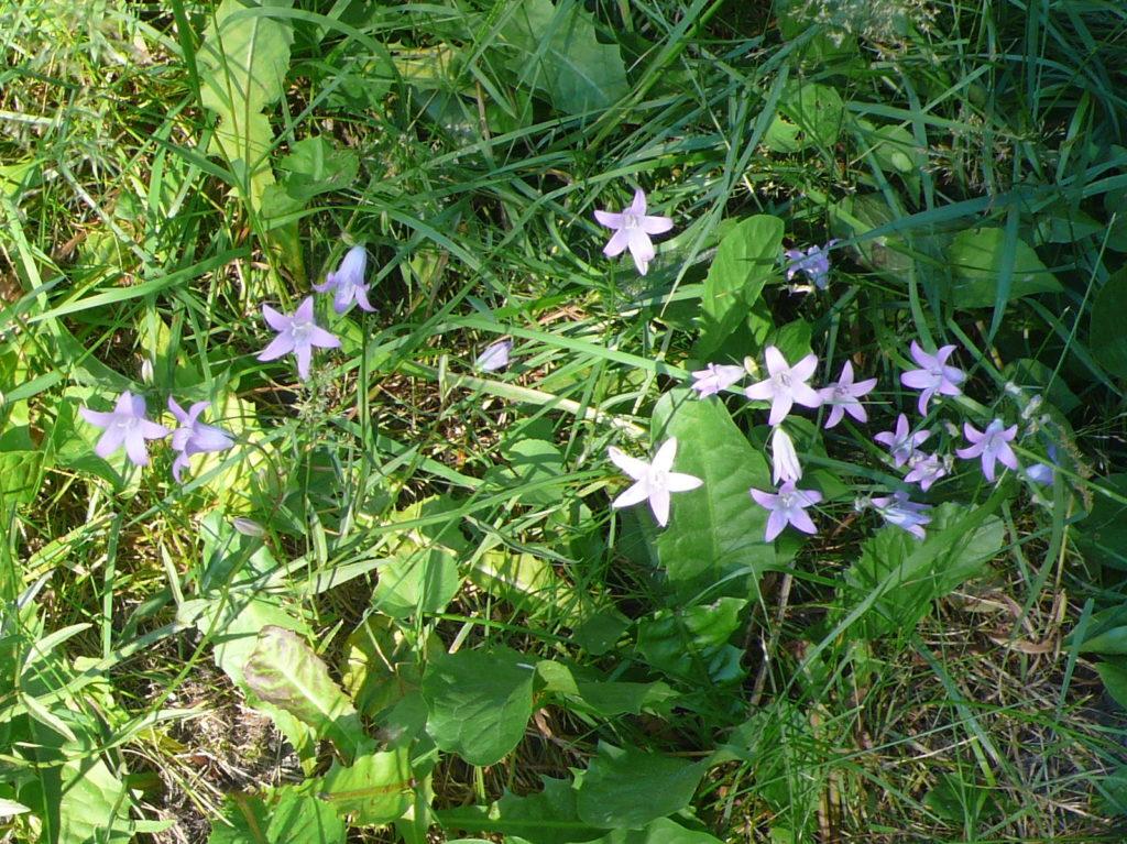 Wiesenglockenblume - Campanula patula