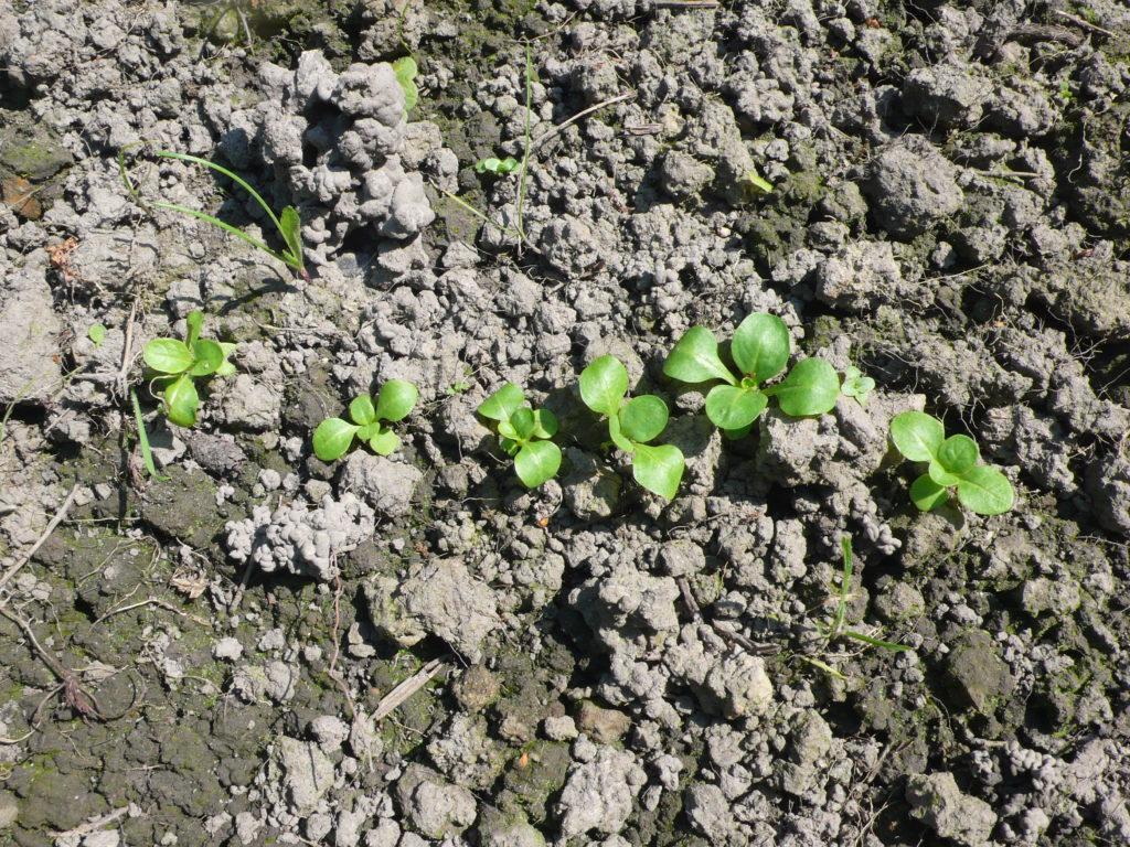 Junger Feldsalat Ende August