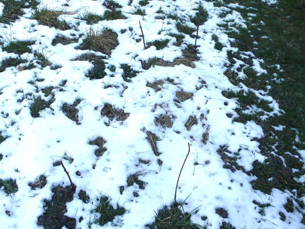 Saubohnen-Beet im Schnee