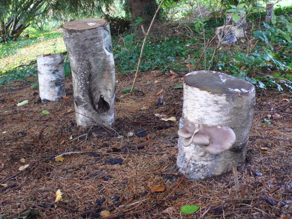 20-30 cm dicke Stämme im Pilzgarten