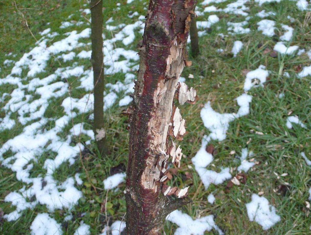Der Buntsprecht hat das Stangenbohnen-Tipi bearbeitet