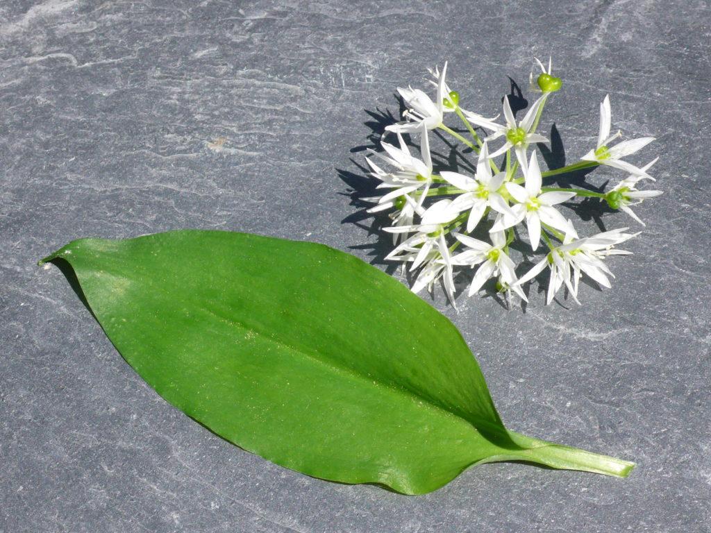 Bärlauch - Blatt und Blüte sind essbar