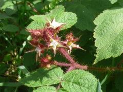 Blüte der japanischen Weinbeere