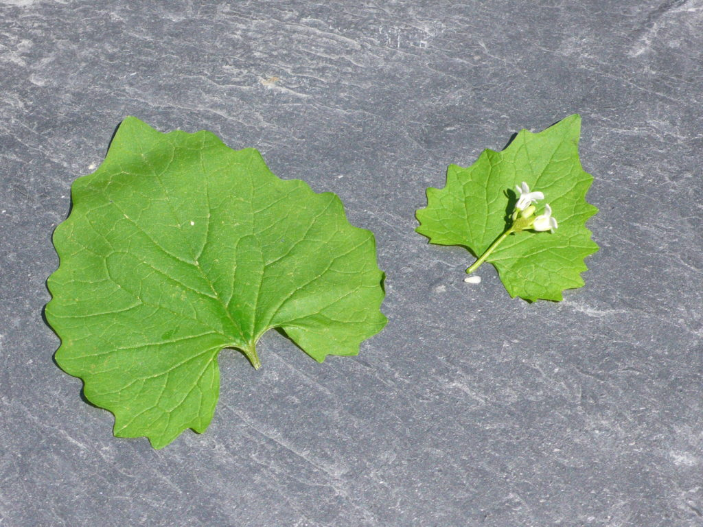 Knoblauchsrauke Lauchhederich - Alliaria petiolata