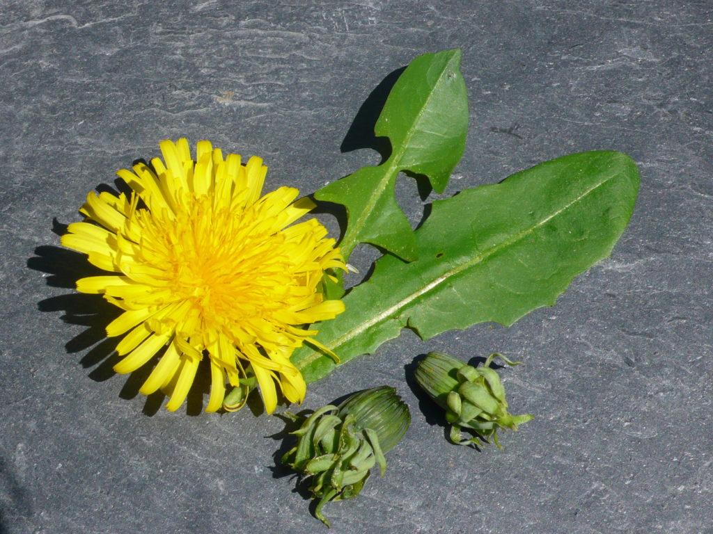 Löwenzahn - Taraxacum sect. Ruderalia Blüter, Knospe und junge Blätter