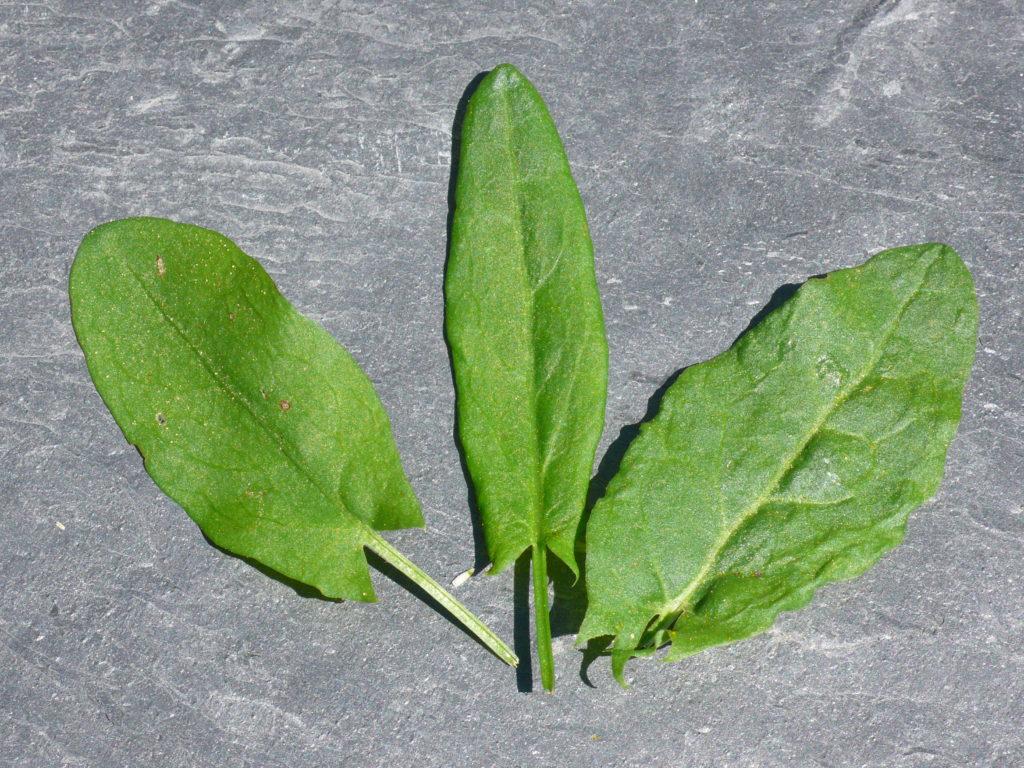 Sauerampfer - Rumex acetosa