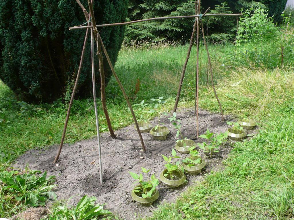 Buschbohnen, Stangenbohnen und Sonnenblumen