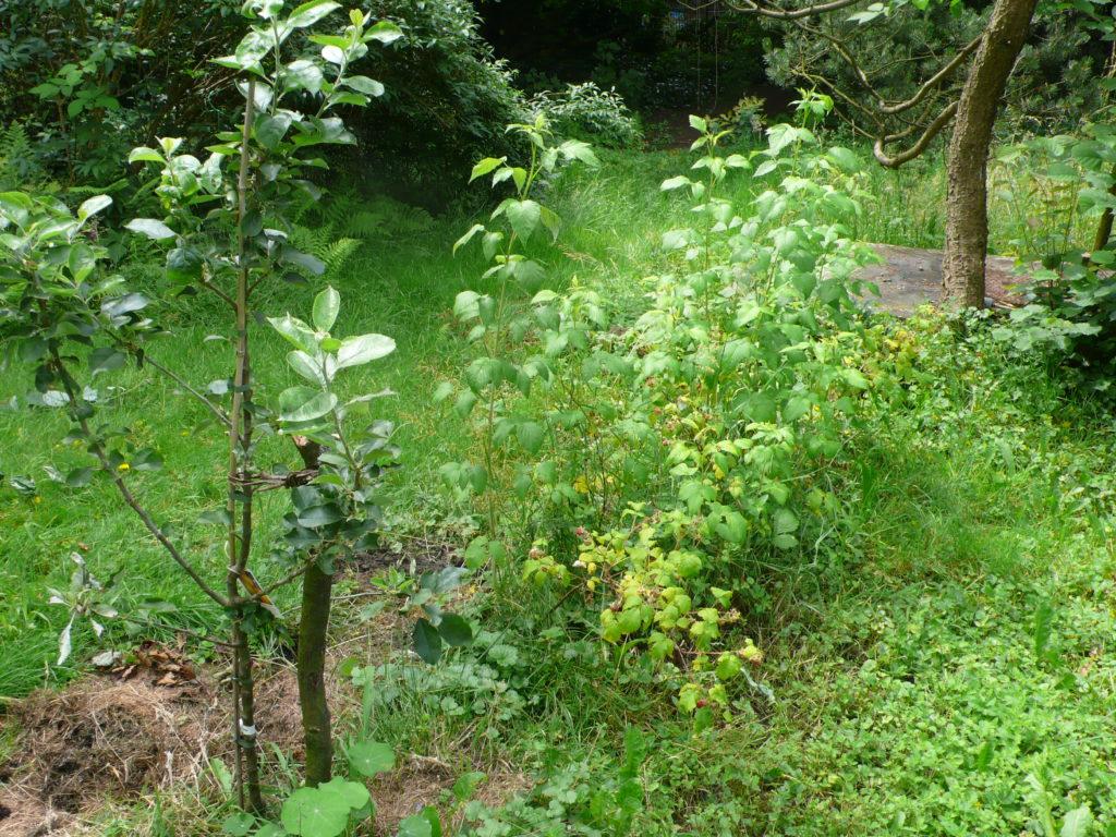 HImbeerbeet mit neu gepflanztem Apfelbaum im Vordergrund