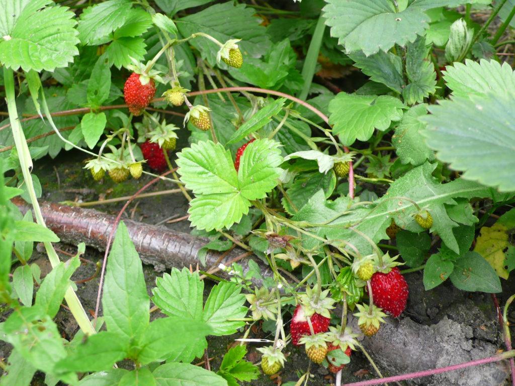 Walderdbeeren mit großen Früchten