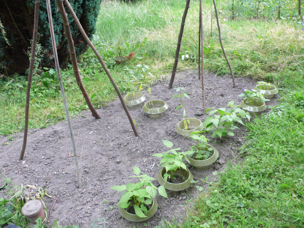 Bohnenbeet zur Aussaat der Stangenbohnen- die Erde war knochentrocken