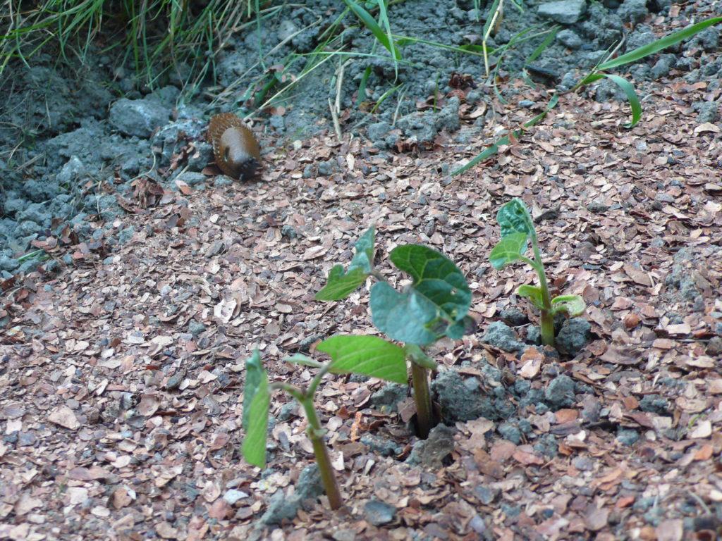 Kakaoschalen stoppen die Nacktschnecke auf ihrem Weg zu den frisch gesähten Bohnen