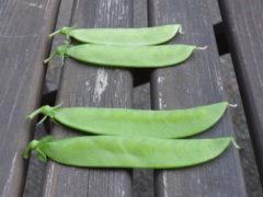 Schotenvergleich zwischen Zuckererbse Ambrosia und Zuckearfen
