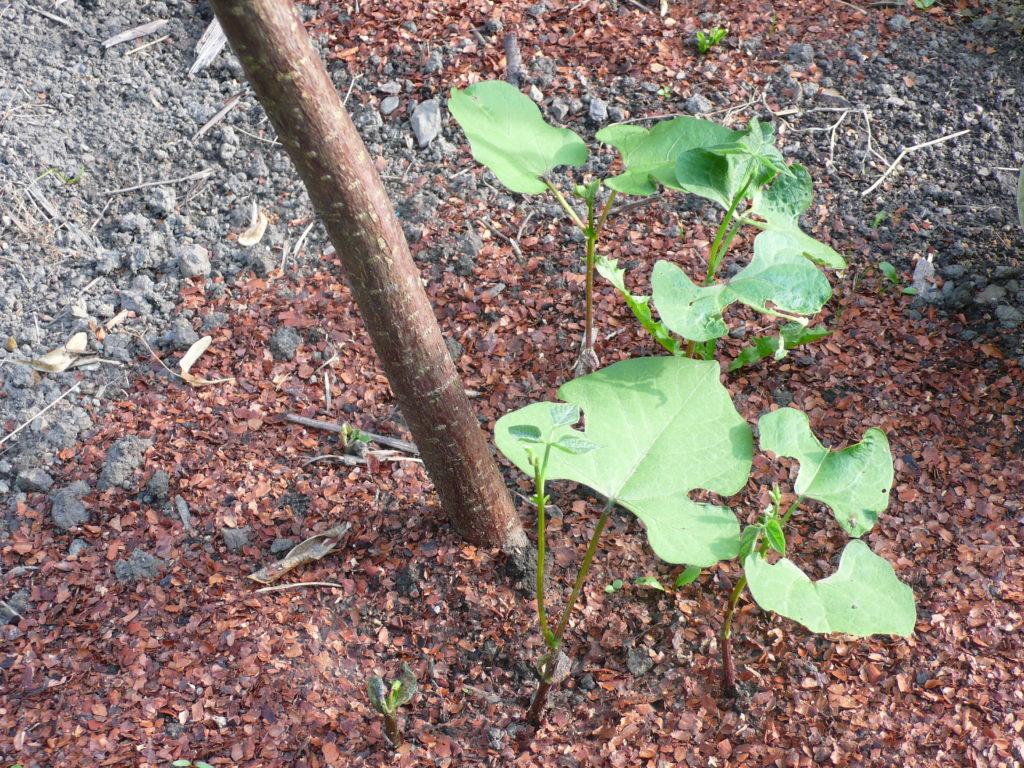 Stangenbohnen mit Keimblättern und Kakaoschalen als Schneckenschutz