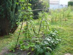 Stangenbohnen und Buschbohnen im August