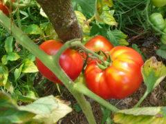3 prachtvolle Früchte der Rose von Bern oder Berner Rose, leider mit Gelbkragen