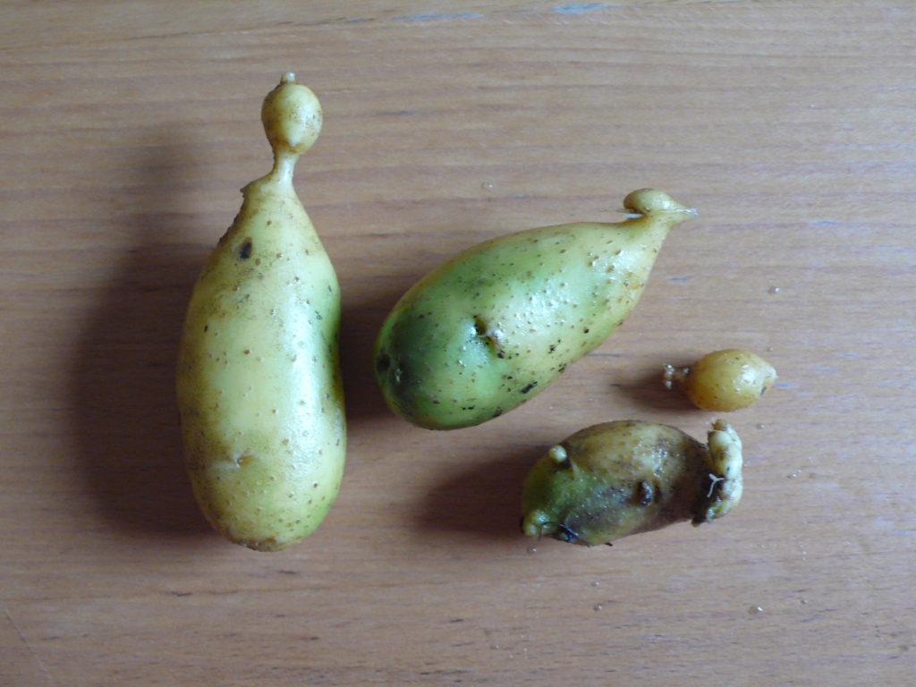 Auch grüne Kartoffeln und Kartoffeln mit Köpfchen sind essbar. Wichtig- das Grüne muss weggeschnitten werden!