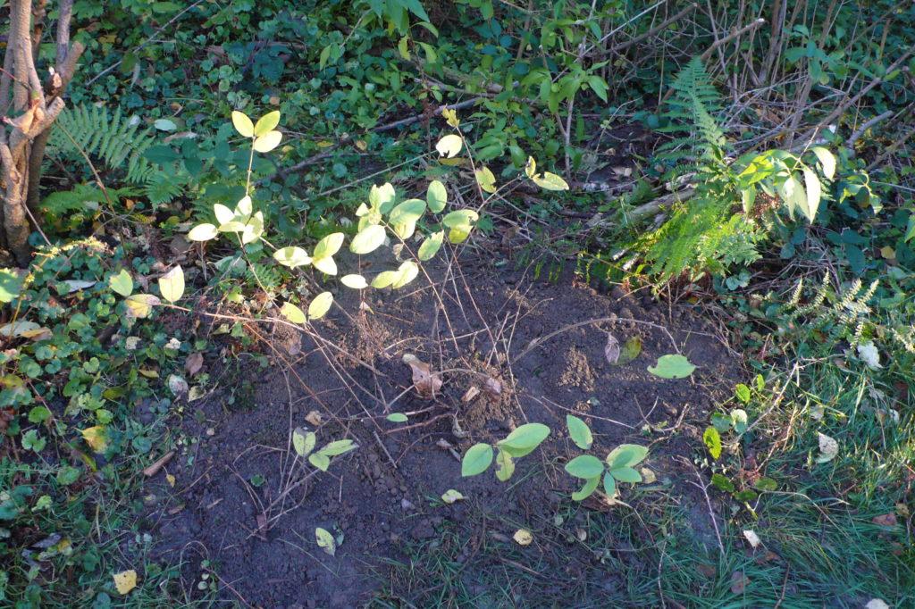 Die umgepflanzte Maibeere an einem helleren Standort