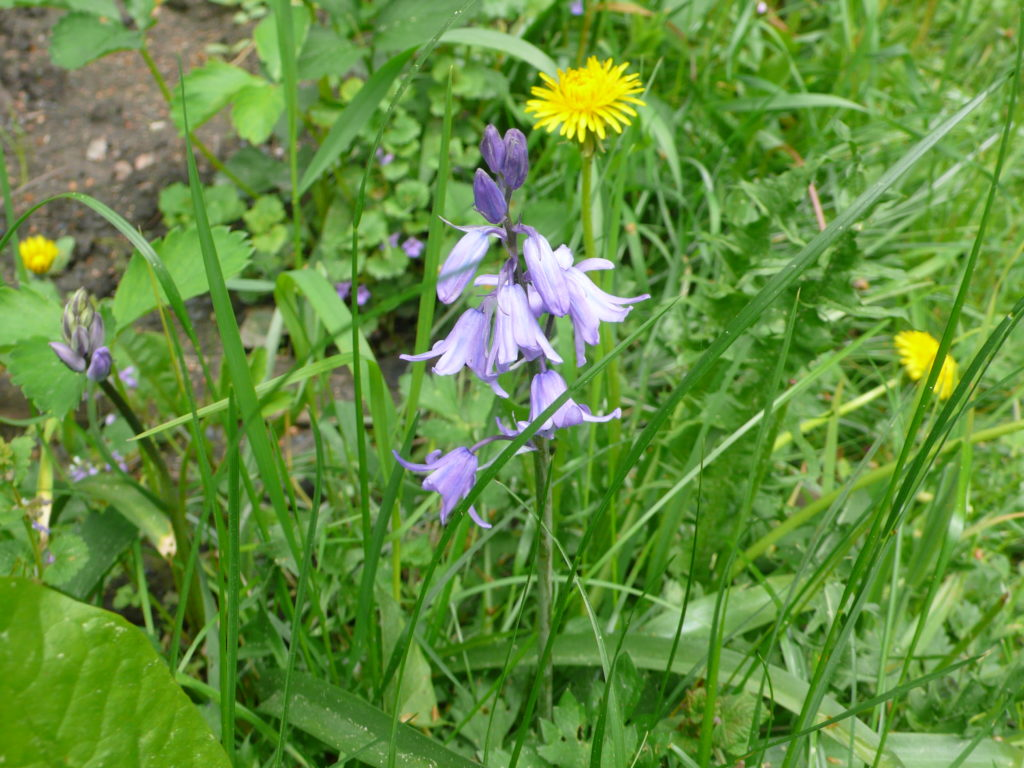 Blüte des Hasenglöckchens - Hyacinthoides