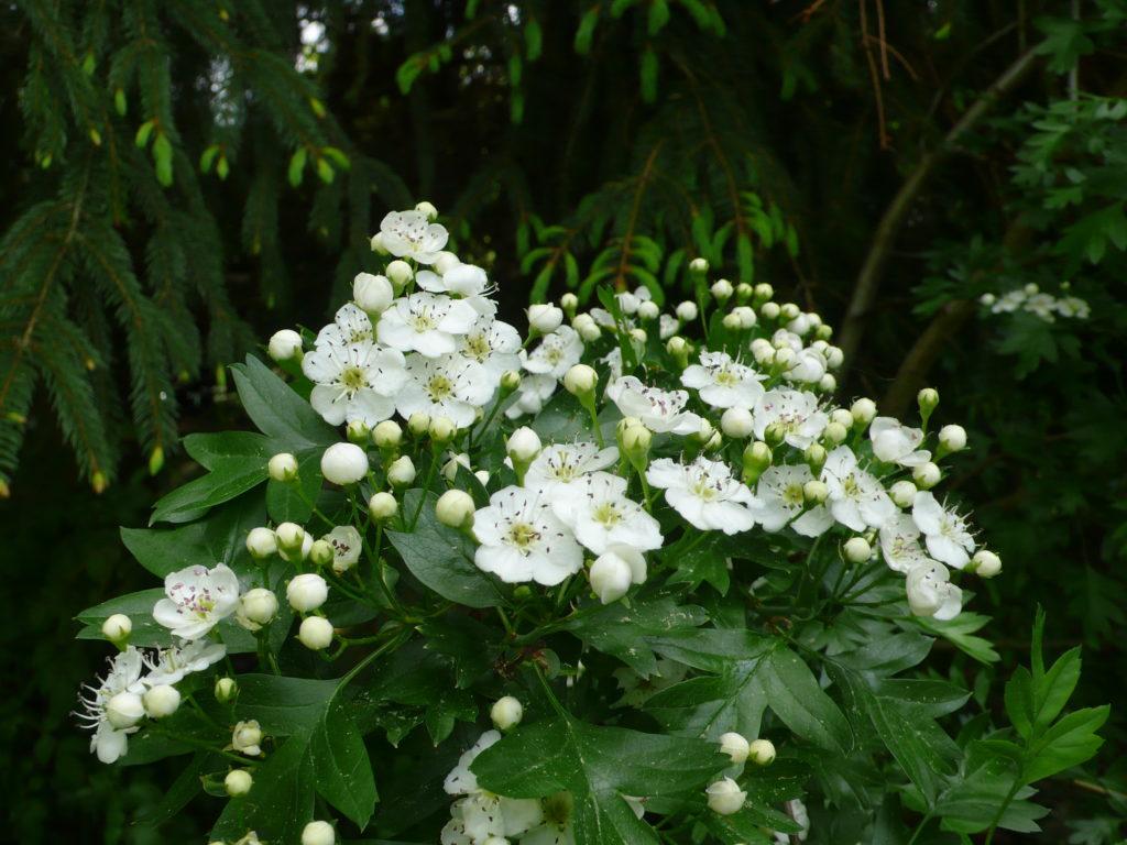 Blüten des Weißdorns - Crataegus monogyna oder Crataegus laevigata