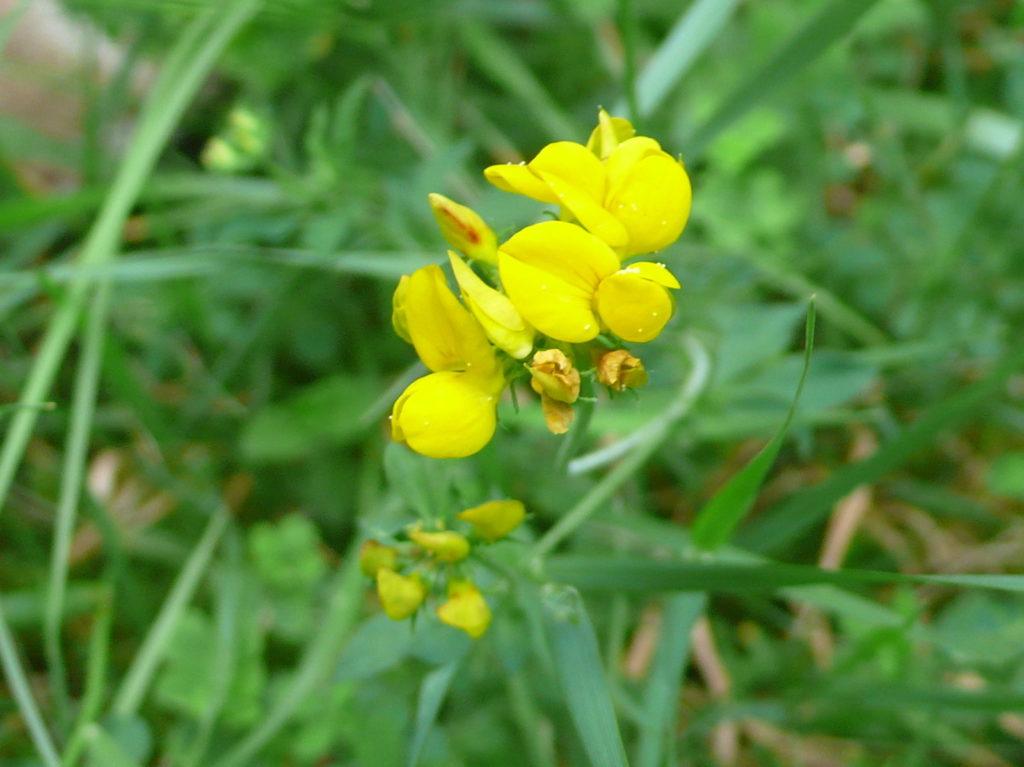 Gewöhnliche Hornklee - Lotus corniculatus - in der Magerwiese