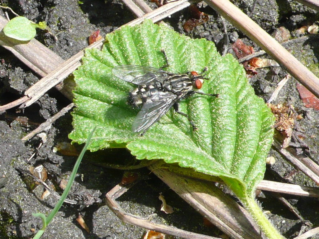 Graue Fleischfliege oder Aasfliege - Sarcophaga carnaria