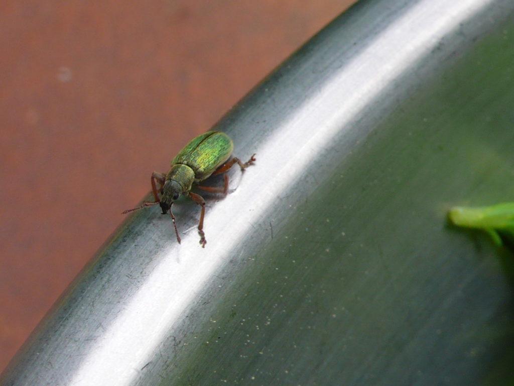 Großer grüner Fichtenrüssler - Polydrusus impar