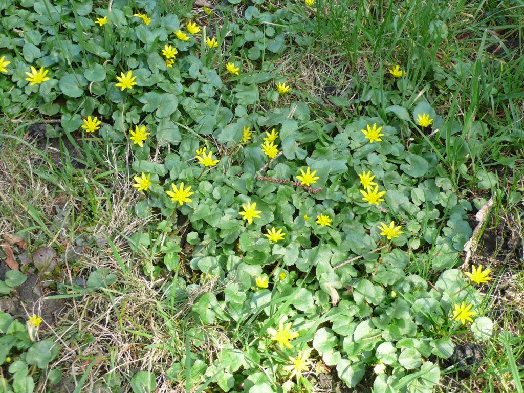 Ranunculus ficaria in der Wiese