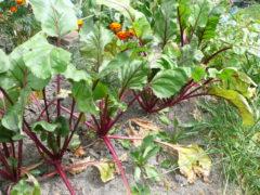 Rote Beete mit Tagetes und Brokkoli in Mischkultur