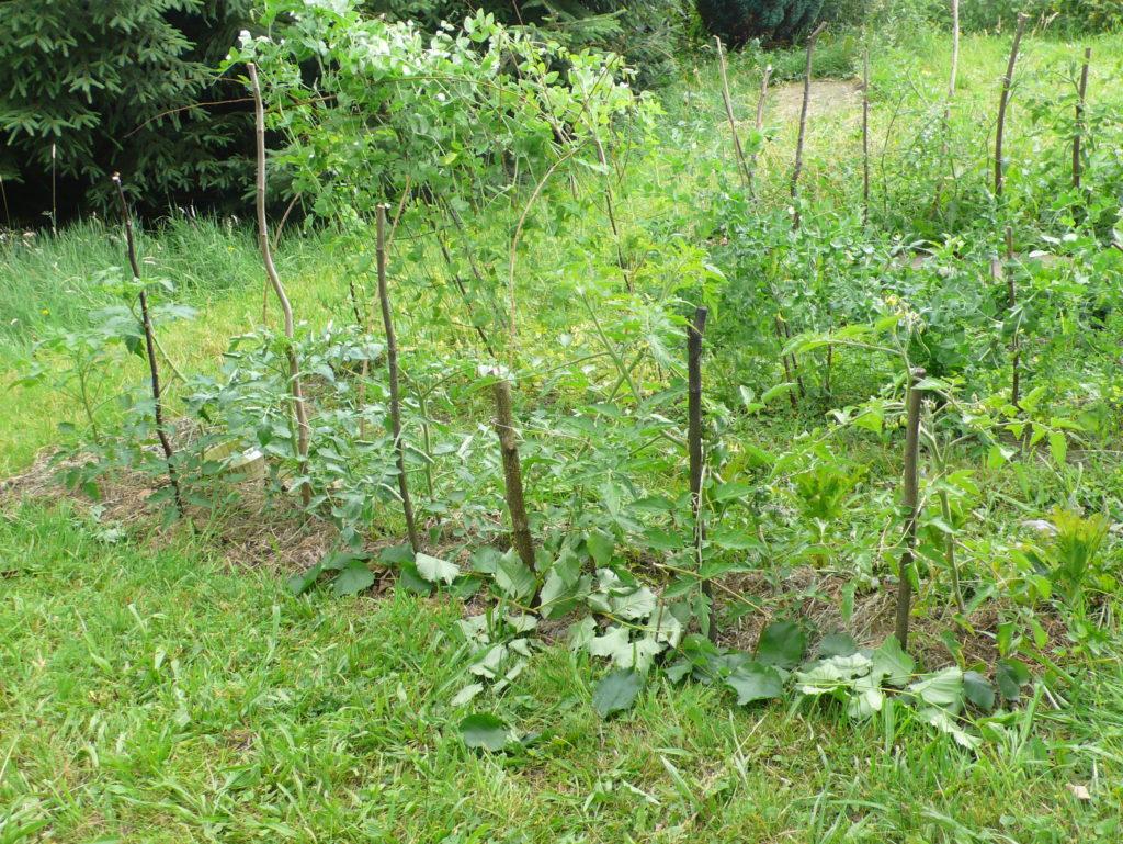 Tomaten mit dicker Mulchschicht gegen Trockenheit