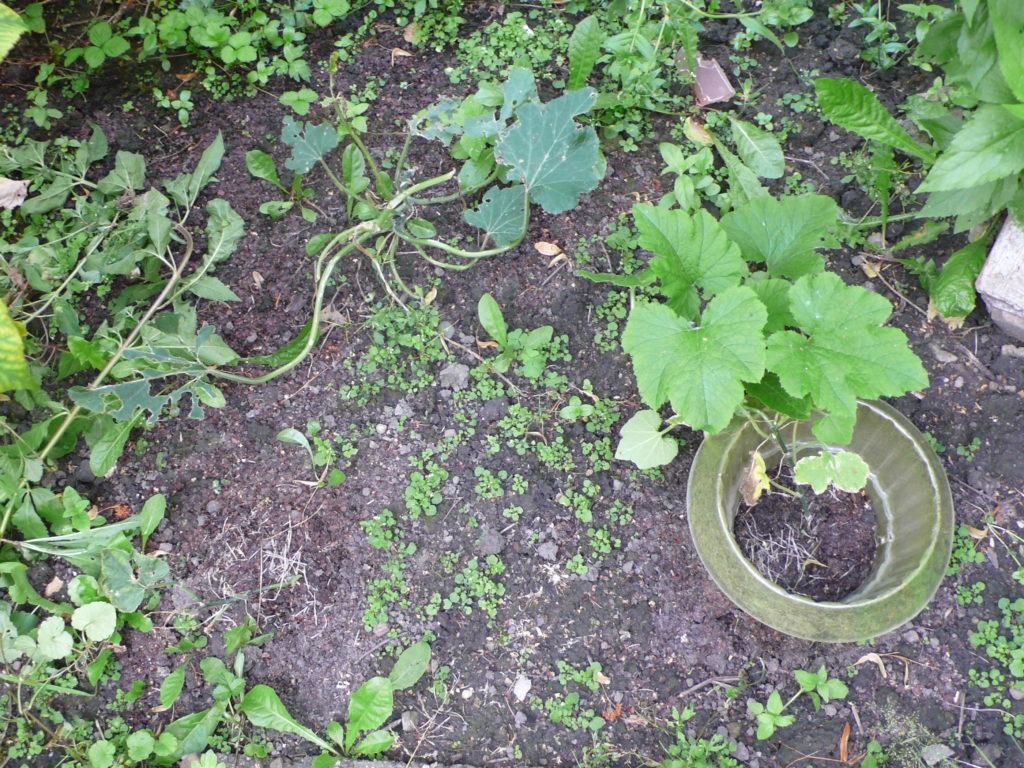 Zucchini und Ölzucchini mit Schneckenfraß