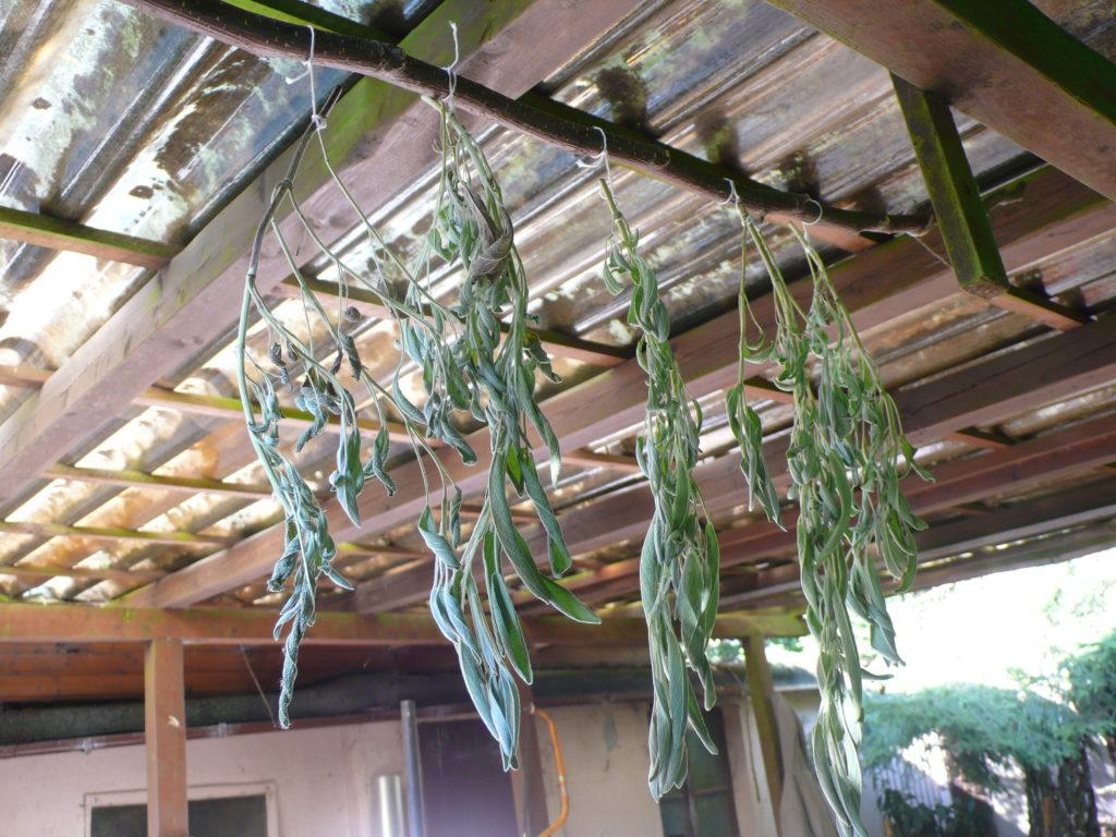 Zum Trocknen aufgehängte Salbei-Blätter für Salbeitee