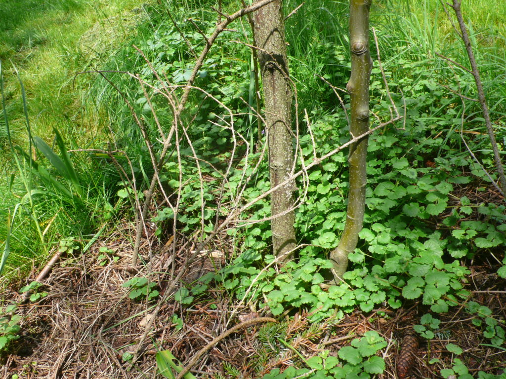 Gundermann als Bodendecker für die Baumscheiben