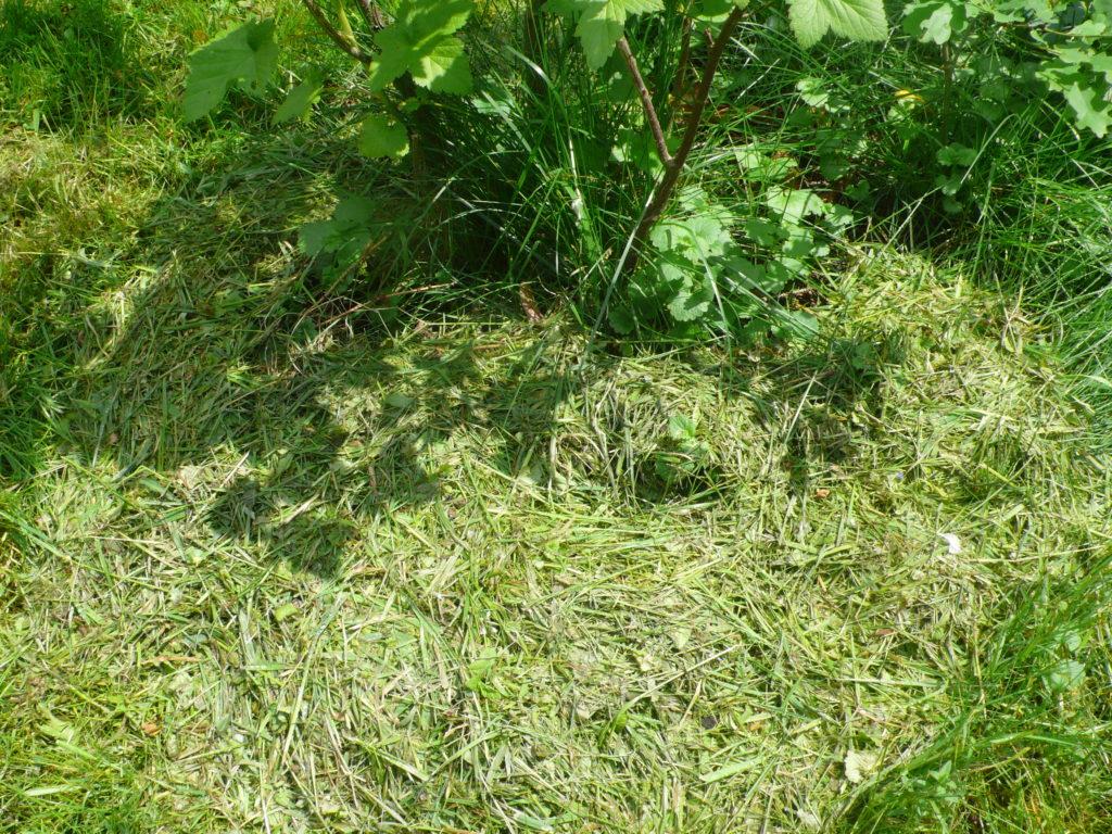 Rasenschnitt als Mulch bei der schwarzen Johannisbeere