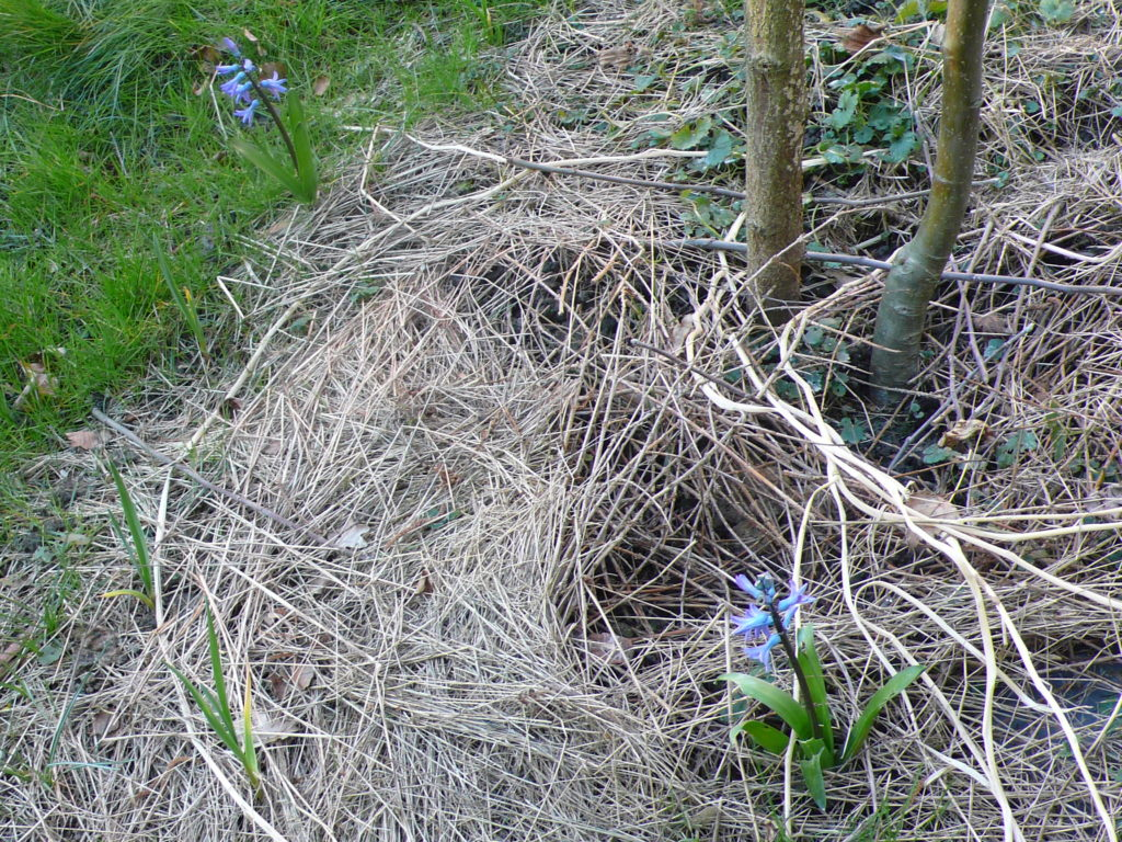 Wiesenheu als Mulchmaterial auf der Baumscheibe vom Apfelbaum