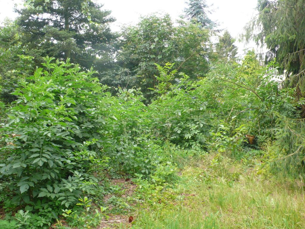 Standort der Wildobsthecke Anfang Juli - ganz schön zugewuchert