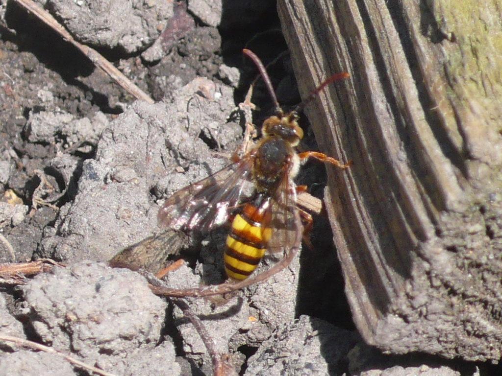 Dreifarbige Wespenbiene - Nomada flava auf einem frisch eingesähten Beet