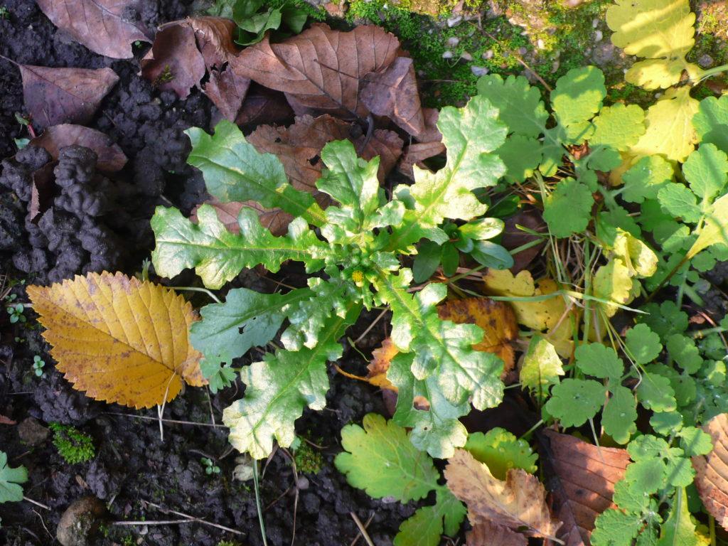 Gewöhnliche Greiskraut - Senecio vulgaris in der Wintersonne