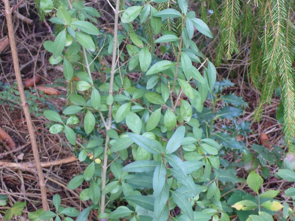 Gewöhnliche Liguster - Ligustrum vulgare hier als Jungpflanze